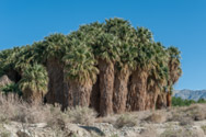 Coachella Valley Preserve of Palm Trees