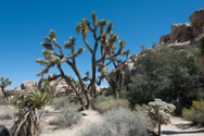 Joshua Trees and Cholla Cactus